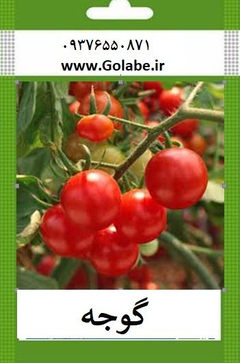 بذر گوجه